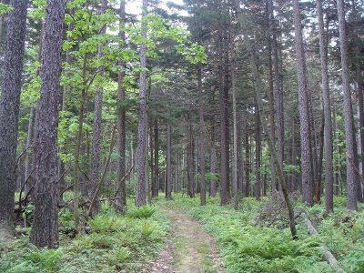 Sakhalin Spruce Forest